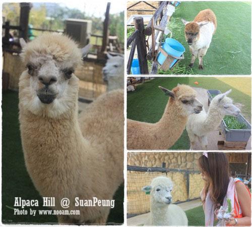 รีวิว อัลปาก้าฮิลล์ (Alpaca Hill) สวนผึ้ง ชมสัตว์หายากหลายชนิด ชมอัลปาก้าอย่างใกล้ชิด และผองเพื่อนสัตว์น่ารัก