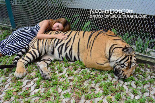 ไปกอดเสือกันที่ Tiger Park Pattaya กอดอุ่น หนุนสบาย บุฟเฟ่ต์อร่อย