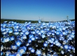 พาชมดอกนีโมฟีล่า ที่ Hitachi Seaside Park จ.อิบารากิ