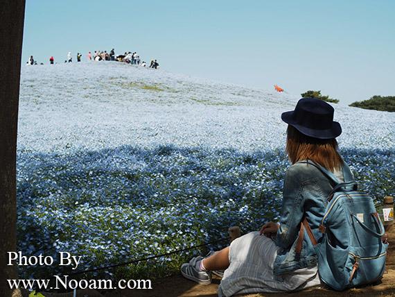 พาเที่ยว hitachi seaside park ชมทุ่งดอกเนโมฟีเลีย พร้อมวิธีการเดินทางแบบง่ายๆ ที่อิบารากิ ญี่ปุ่น